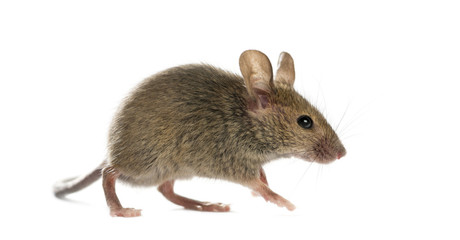A Mouse Indoors