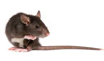 Rats in my house